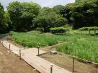 小石川後楽園の花菖蒲の開花状況と見頃!カモが散歩しサギや亀が日光浴!