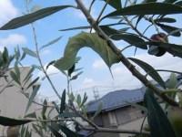 オリーブの害虫スズメガの幼虫駆除と突然の空からの攻撃で思わぬ被害とは!