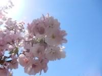 足立区都市農業公園の桜の見頃!時期に注意&子供連れにオススメの理由