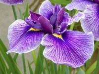 皇居東御苑の花菖蒲の見頃は 画像で見る品種と!ネーミングの妙!