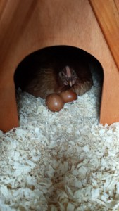 The two rejected Maran eggs