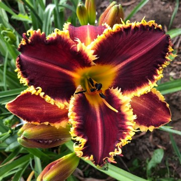 Goodlife Daylilies