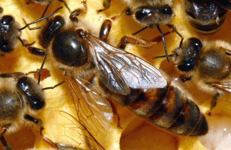 gambar ratu lebah madu