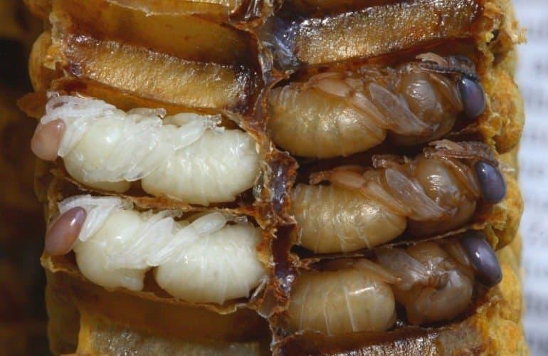 larva lebah dalam pengeraman