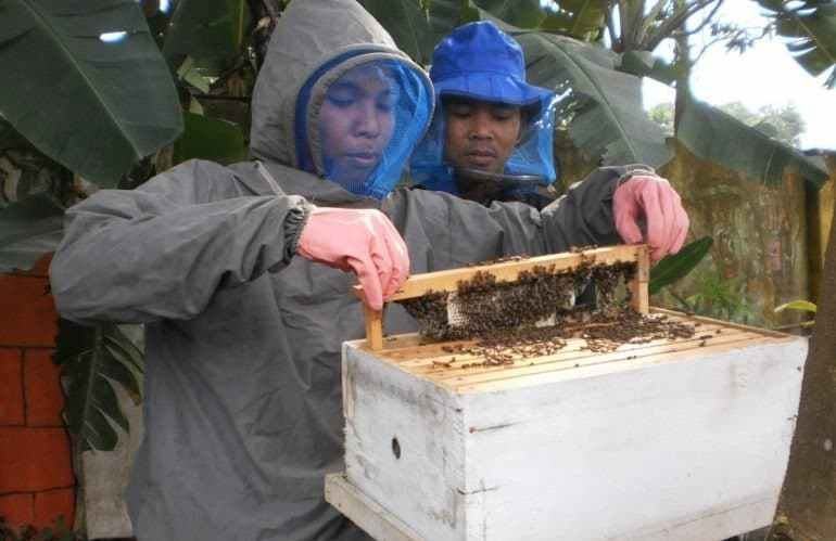 panen lebah madu