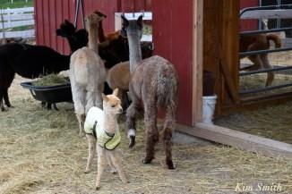 angies-alpaca-gloucester-harumby-copyright-kim-smith