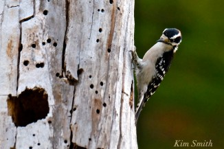 downy-woodpecker-cape-ann-gloucester-massachusetts-copyright-kim-smith