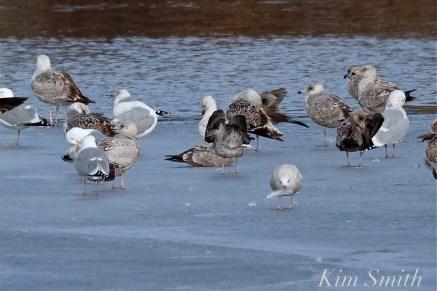 Iceland Gull Eastern Point Gloucester MA -2 copyright Kim Smith