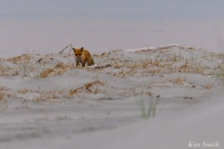 Fox digging in the sand -2 copyright Kim Smith