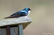 Tree Swallows -3 copyright Kim Smith