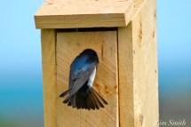 Tree Swallows Nesting Box copyright Kim Smith