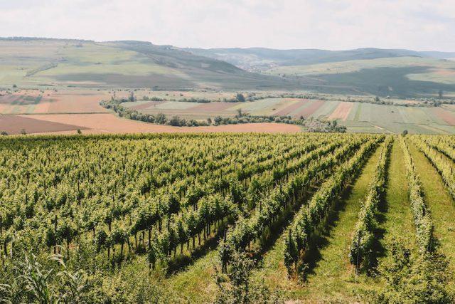Wijnmakerij Targu Mures Villa Vinea wijnstokken