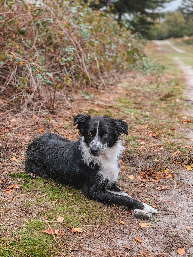 Limburg Schaeferhund