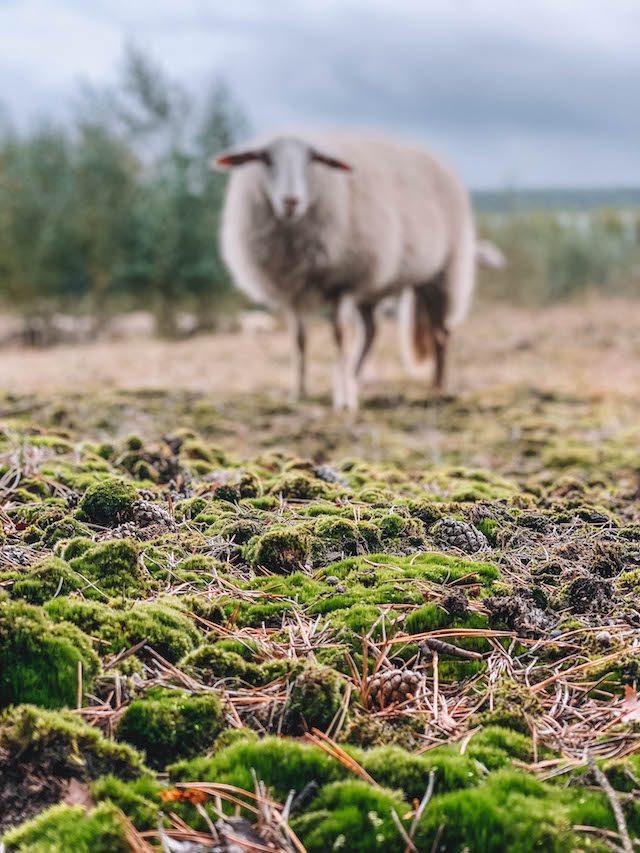 Limburgse schapen