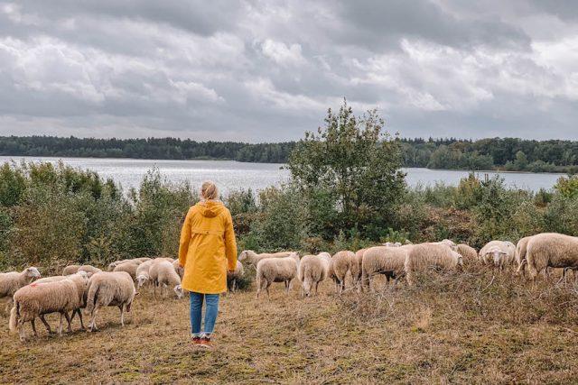 Limburgse schapen verstopten zich