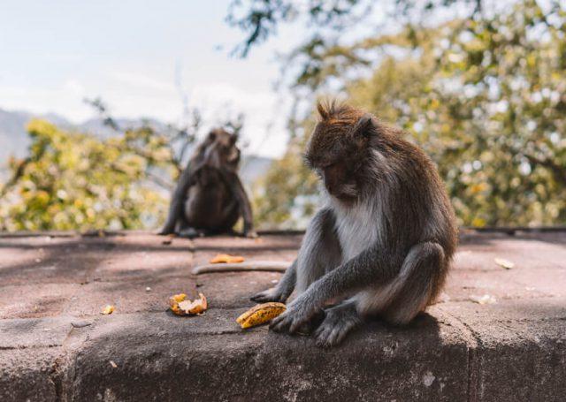 Munduk apen Bali