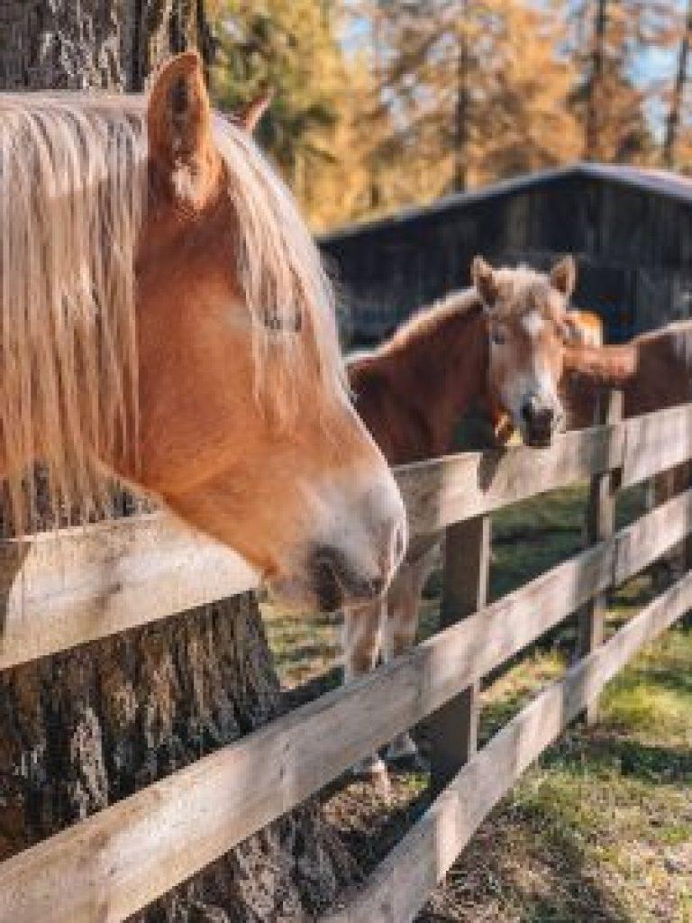 Jenesien Haflinger-paarden