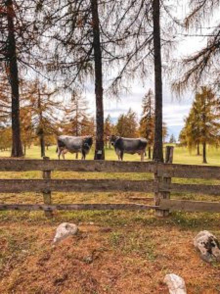 Kuehe Zuid-Tirol