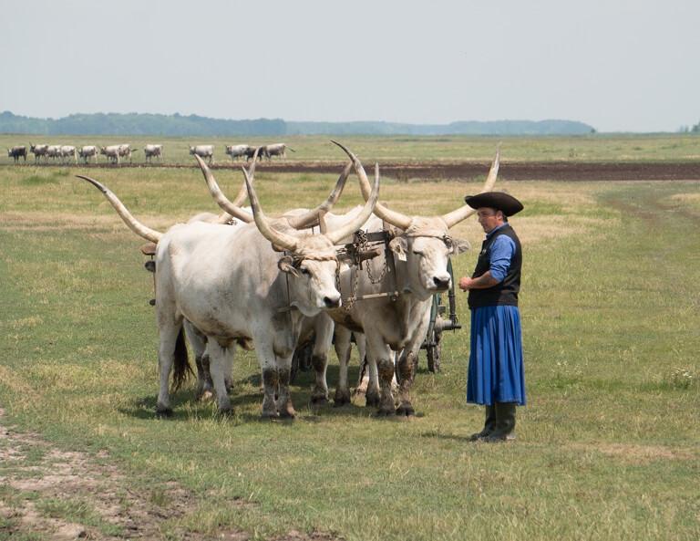 Hongarije Puszta Hortobagyi National Park grijs vee