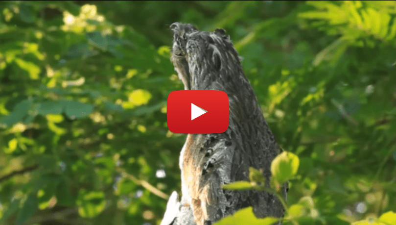 Video  Potoo Bird in Full Camo