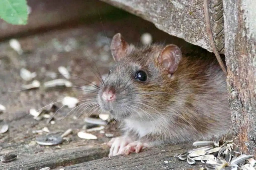 rat under the shed