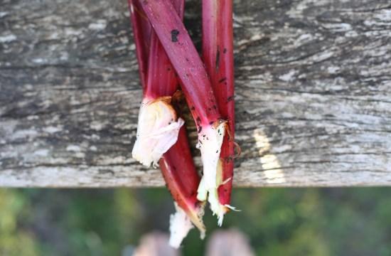 rhubarb stems