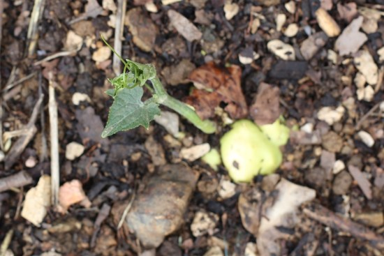 chuchu sprout - 1