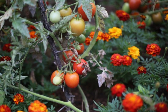 garden tomatoes & marigold - 1 (2)