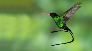 red-billed_streamertail_
