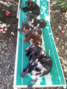 line of puppies