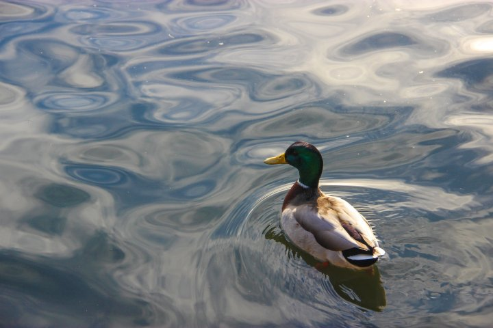 Mallard Duck Swimming on Glassy Water