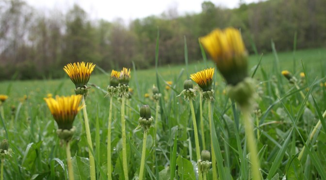 Cherry Valley dandelions in spring in upstate NY near Cooperstown.
