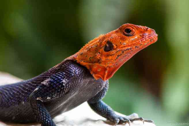 Nigeria tourism perhaps shoud be red-faced like this rainbow agama
