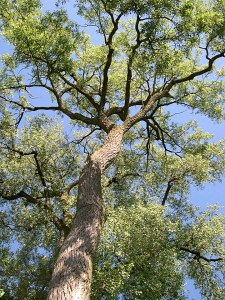 An Eastern Cottonwood tree against a blue sky
