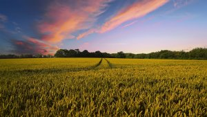A beautiful field of crops under a bright blue and pink sky.