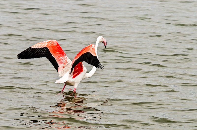 Flamingo Wildlife Photography