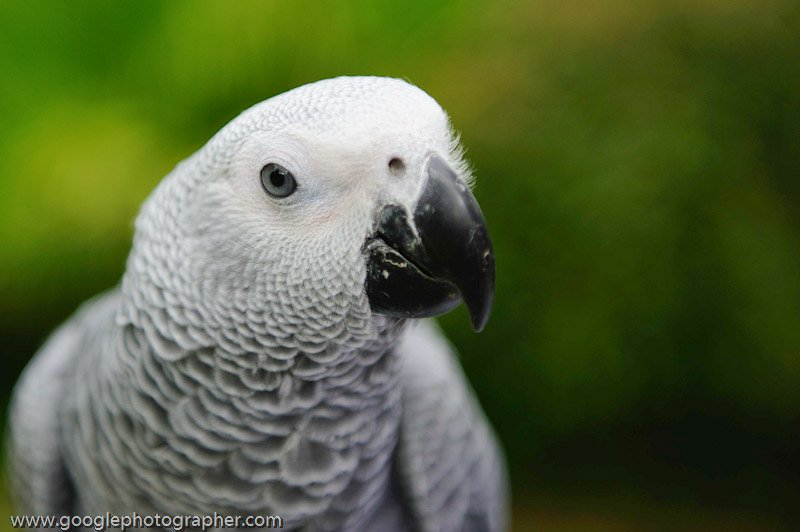 African Grey Parrot Portrait Pet Photography