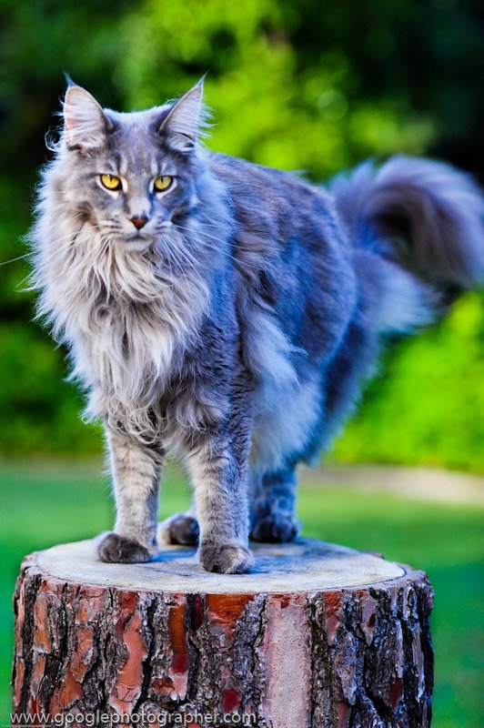 Indigo Maine Coon Cat Pet Photography