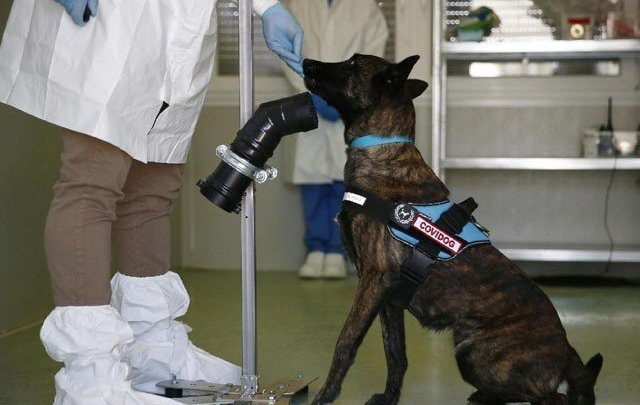 Dogs can diagnose corona virus by sniffing