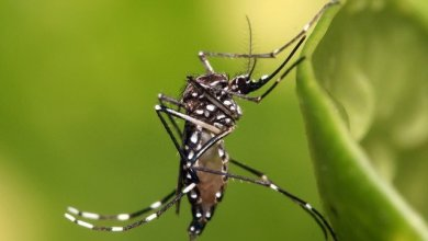 Bacterial experiment to reduce the spread of dengue is 77% successful