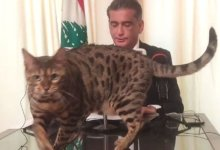 Cat's catwalk at a Lebanese politician's live press conference