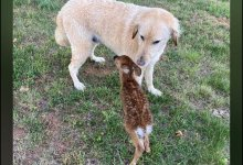 """The baby deer reached home to thank his """"good dog"""""""