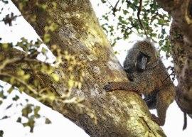 Baboon - Masai Mara by Peter Wabbel