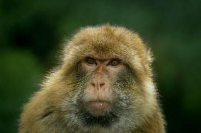 Barbary Macaque in Gibraltar by Güneş Akdoğan