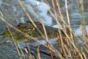 Croc at Londolozi