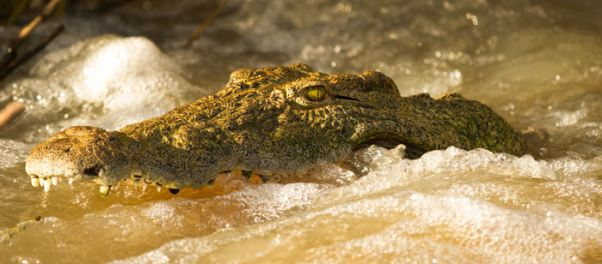 Nile Crocodile at Londolozi