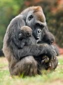 A gorilla grasping its young.