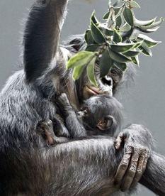 Bonobo with baby