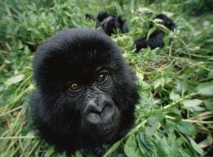Close-up Mountain gorilla portrait