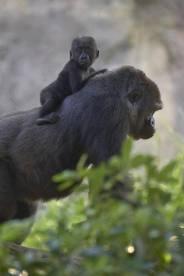 Gorilla ride
